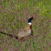 Common pheasant. Side view of adult male. Hot Water Beach,  Coromandel. Image © Noel Knight by Noel Knight