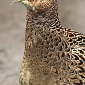 Common pheasant. Front view of adult female. Wanganui, May 2012. Image © Ormond Torr by Ormond Torr