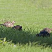 Common pheasant. Covey foraging in field. Maitai Bay, April 2012. Image © Raewyn Adams by Raewyn Adams