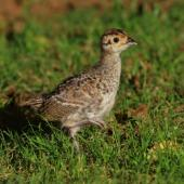 Common pheasant. Juvenile. Cornwall Park, December 2012. Image © Ron Chew by Ron Chew