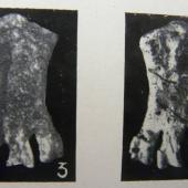 Duntroon penguin. Holotype tarsometatarsus in Otago Museum (from NZ Geological Survey Paleontological Bulletin 20). Duntroon, North Otago. Image © Alan Tennyson by Alan Tennyson