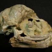 Harris' penguin. Holotype skull (lateral view), Canterbury Museum AV 16527. Motunau Beach. Image © Daniel Ksepka by Daniel Ksepka