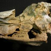 Harris' penguin. Holotype skull (ventral view), Canterbury Museum AV 16527. Motunau Beach. Image © Daniel Ksepka by Daniel Ksepka