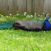Peafowl. Adult male sitting. Botany Downs, Auckland, June 2004. Image © Marie-Louise Myburgh by Marie-Louise Myburgh