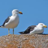 Pacific gull. Adults. South Australia, January 2007. Image © John Flux by John Flux