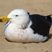 Pacific gull. Sub-adult. Venus Bay, South Australia, August 2016. Image © John Fennell by John Fennell
