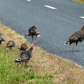 Wild turkey. Female with young. near Lake Waikare, March 2013. Image © Joke Baars by Joke Baars