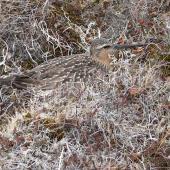 Bar-tailed godwit. Male incubating eggs in nest. Yukon-Kuskokwim Delta, Alaska, June 2008. Image © Keith Woodley by Keith Woodley