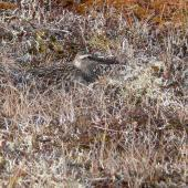 Bar-tailed godwit. Female bird incubating eggs in nest. Yukon-Kuskokwim Delta, Alaska, June 2008. Image © Keith Woodley by Keith Woodley