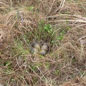 Bar-tailed godwit. Nest with 4 eggs in lowland tundra. Yukon Kuskokwim Delta, Alaska, June 2008. Image © Keith Woodley by Keith Woodley