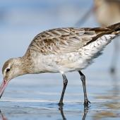 Bar-tailed godwit. Non-breeding adult feeding. Warrington Beach,  Otago, October 2006. Image © Craig McKenzie by Craig McKenzie