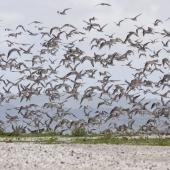 Bar-tailed godwit. Flock taking off. Mangere sewage ponds, November 2011. Image © Art Polkanov by Art Polkanov