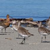 Bar-tailed godwit. Group of adults showing different angles. Motueka Sandspit, March 2012. Image © Rebecca Bowater FPSNZ by Rebecca Bowater  FPSNZ Courtesy of Rebecca Bowaterwww.floraandfauna.co.nz