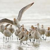 Bar-tailed godwit. Recent arrivals with facial iron staining from Alaskan sediments. Whanganui River estuary, October 2015. Image © Ormond Torr by Ormond Torr