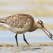 Bar-tailed godwit. Juvenile swallowing mud crab (note patterned plumage on wing, compared to the plainer coverts of adults). Whanganui River estuary, October 2015. Image © Ormond Torr by Ormond Torr