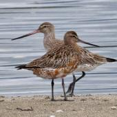 Bar-tailed godwit. Male (front) developing breeding plumage and female in non-breeding plumage shortly before migrating. Motueka Sandspit, March 2012. Image © Rebecca Bowater FPSNZ by Rebecca Bowater  FPSNZ Courtesy of Rebecca Bowaterwww.floraandfauna.co.nz