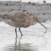 Bar-tailed godwit. Adult in breeding plumage pulling up marine worm. Avon-Heathcote estuary, March 2014. Image © Steve Attwood by Steve Attwood  http://www.flickr.com/photos/stevex2/