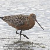 Bar-tailed godwit. Adult in breeding plumage wading. Avon-Heathcote estuary, May 2014. Image © Steve Attwood by Steve Attwood  http://www.flickr.com/photos/stevex2/