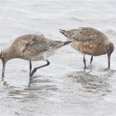 Bar-tailed godwit. Two adults feeding, one with well-developed breeding plumage. Avon-Heathcote estuary, March 2014. Image © Steve Attwood by Steve Attwood http://www.flickr.com/photos/stevex2/