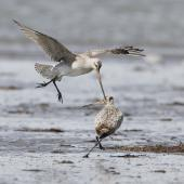 Bar-tailed godwit. Non-breeding birds fighting. Manawatu River estuary, October 2012. Image © Phil Battley by Phil Battley