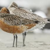 Bar-tailed godwit. Dark adult male in pre-breeding moult. Such extensive prebreeding moult is typical of males that breed in northern Alaska. Manawatu River estuary, March 2012. Image © Phil Battley by Phil Battley