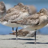Bar-tailed godwit. Juvenile bird moulting into first non-breeding plumage. Manawatu River estuary, January 2013. Image © Phil Battley by Phil Battley