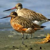 Bar-tailed godwit. Adult in breeding plumage. Manawatu River estuary, March 2007. Image © Alex Scott by Alex Scott