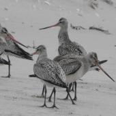 Bar-tailed godwit. Juvenile birds newly arrived on migration showing dropped wings. Waikawau Beach, North Coromandel, October 2009. Image © Ray Buckmaster by Ray Buckmaster
