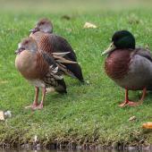 Plumed whistling duck. Two adults resting beside mallard, showing size comparison. Taradale, Napier, May 2015. Image © Adam Clarke by Adam Clarke