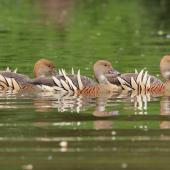 Plumed whistling duck. Three adults swimming. Anderson Park, Napier, December 2011. Image © Adam Clarke by Adam Clarke