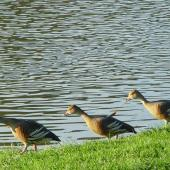 Plumed whistling duck. Three adults. Anderson Park, Napier, October 2011. Image © Graeme Taylor by Graeme Taylor