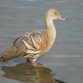 Plumed whistling duck. Adult. Anderson Park, Taradale, Napier, April 2016. Image © Graham Barwell by Graham Barwell