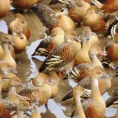 Plumed whistling duck. Dense flock. Hasties Swamp, Atherton Tableland, Queensland, August 2016. Image © Ian Armitage by Ian Armitage