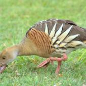 Plumed whistling duck. Adult grazing. Anderson Park, Napier, January 2016. Image © Oscar Thomas by Oscar Thomas https://www.flickr.com/photos/kokakola11/