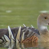 Plumed whistling duck. Adult swimming. Anderson Park, Napier, January 2016. Image © Oscar Thomas by Oscar Thomas https://www.flickr.com/photos/kokakola11/albums