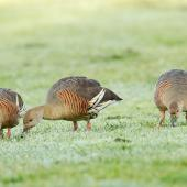 Plumed whistling duck. Adults feeding on mown lawn of an urban park. Napier, Hawke's Bay, October 2011. Image © Neil Fitzgerald by Neil Fitzgerald www.neilfitzgeraldphoto.co.nz