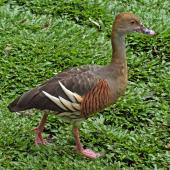 Plumed whistling duck. Adult. Cairns, Queensland, Australia, August 2010. Image © Andrew Thomas by Andrew Thomas