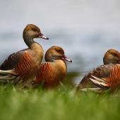 Plumed whistling duck. Three adults. Anderson Park, Napier, December 2011. Image © Craig Steed by Craig Steed