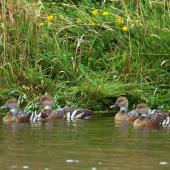 Plumed whistling duck. Four adults. Near Woodville, February 2007. Image © Alex Scott by Alex Scott