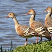 Plumed whistling duck. Three adults. Anderson Park, Napier, September 2011. Image © Dick Porter by Dick Porter
