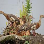 Plumed whistling duck. Three adults. Taradale, December 2011. Image © Imogen Warren by Imogen Warren imogenwarrenphotography.net