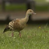 Plumed whistling duck. Adult. Anderson Park, Taradale, March 2016. Image © Cheryl Walton by Cheryl Walton