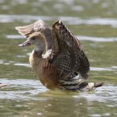 Plumed whistling duck. Bird with wings up, showing underwing. Napier, March 2013. Image © Phil Battley by Phil Battley