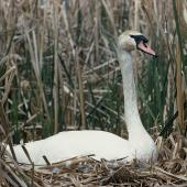 Mute swan. Adult on nest. Rocky Point, Lake Ellesmere. Image © Department of Conservation ( image ref: 10037606 ) by Peter Morrison, Department of Conservation  Courtesy of Department of Conservation