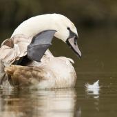 Mute swan. Immature preening. England, United Kingdom. Image © Neil Fitzgerald by Neil Fitzgerald www.neilfitzgeraldphoto.co.nz