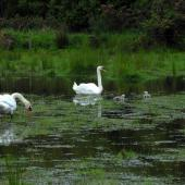 Mute swan. Pair with cygnets. Harts Creek, December 2009. Image © Peter Reese by Peter Reese