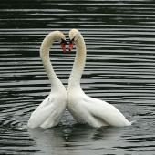 Mute swan. Post-coital display. Wanganui, August 2009. Image © Ormond Torr by Ormond Torr