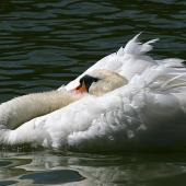 Mute swan. Adult in aggressive posture. Wanganui, December 2009. Image © Ormond Torr by Ormond Torr