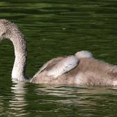 Mute swan. Juvenile on lake. Wanganui, January 2010. Image © Ormond Torr by Ormond Torr