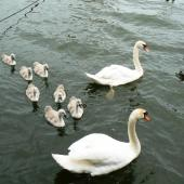 Mute swan. Pair with 7 cygnets. Amsterdam, Netherlands, June 2009. Image © Joke Baars by Joke Baars